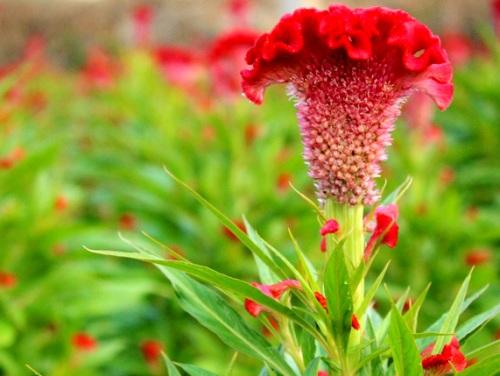 Dùng hoa mào gà chữa bệnh mề đay liệu có thực sự tốt