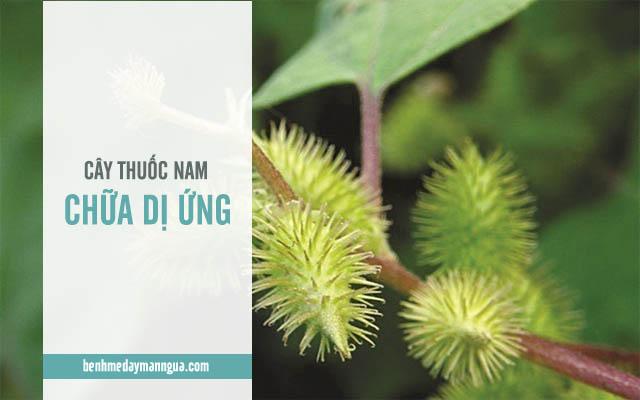 những cách chữa dị ứng bằng cây thuốc Nam